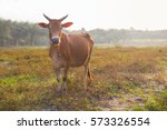Brown Cow Standing Smart On...