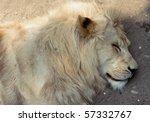 Sleeping Lion Close Up Photo