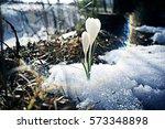 Snowdrops First White Crocus...
