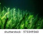 underwater fish fresh water... | Shutterstock . vector #573349360