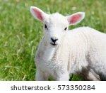 cute baby lambkin in spring ... | Shutterstock . vector #573350284