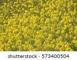 rape blossoms blooming in... | Shutterstock . vector #573400504