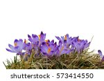 Purple Crocus Blooming In...