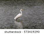 Great White Egret  Egretta Alb...