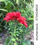Twin Red Gerbera Flower