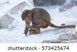 baby baboon sitting on a rock ... | Shutterstock . vector #573425674