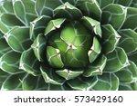 closeup of bromeliad flower...   Shutterstock . vector #573429160