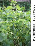 part of cucumber plant in a... | Shutterstock . vector #573434980