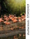 Close Up Of Caribbean Flamingos ...