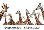 herd of giraffes isolated on a... | Shutterstock . vector #573463660