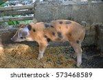 Lovely Pig