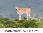 small calf on a high pasture in ... | Shutterstock . vector #573515794