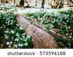 Snowdrops In The Forest In The...