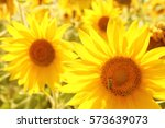 a field of blooming sunflowers... | Shutterstock . vector #573639073