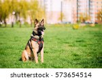 malinois dog sit outdoors in... | Shutterstock . vector #573654514