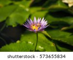 Violet Lotus With Bees