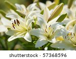Many white lilies in a garden - stock photo