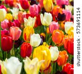 beautiful colored tulips on a... | Shutterstock . vector #573691114