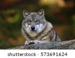 Small photo of gray wolf