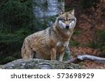 gray wolf | Shutterstock . vector #573698929