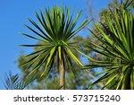 Tree For Transplanting   Yucca...