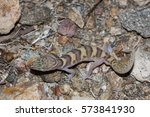 Coleonyx variegatus variegatus, western banded gecko from the southwestern United States, portrait from above in Mojave desert