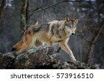 wolf | Shutterstock . vector #573916510