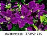 Many Large Purple Clematis...
