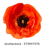 Flower Head. Poppy. Red Anemon...
