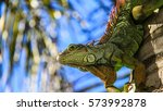 A Green Iguana On A Palm