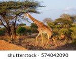giraffe in east tsavo park in... | Shutterstock . vector #574042090