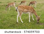 Four Fallow Deer Does  One In...