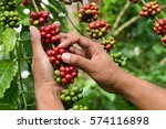 coffee beans ripening on a tree. | Shutterstock . vector #574116898