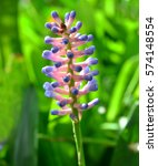 Small photo of Aechmea Gamosepala