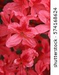 pink azalea blossom in... | Shutterstock . vector #574168624
