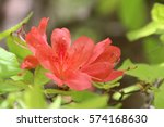 pink azalea blossom in... | Shutterstock . vector #574168630