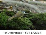 Small photo of Ochraceous Bulbul bird (Alophoixus ochraceus) in forest Thailand