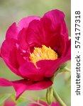 paeonia suffruticosa in japan. | Shutterstock . vector #574177318