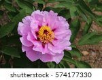 paeonia suffruticosa in japan. | Shutterstock . vector #574177330