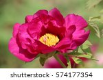 paeonia suffruticosa in japan. | Shutterstock . vector #574177354