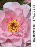 paeonia suffruticosa in japan. | Shutterstock . vector #574177378