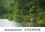 two elk calves emerge from the... | Shutterstock . vector #574194598