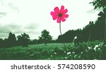 Isolated Pink Cosmos Flower...
