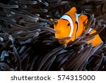 Ocellaris Clownfish Clown...