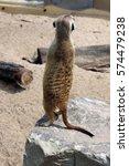 Meerkat Back Pose