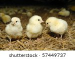 Big Poultry Rearing Farm  Thre...
