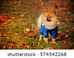 Stock photo the story of spitz in the blue sweater in the mysterious dark forest 574542268