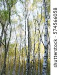 Springtime Silver Birch Trees...
