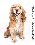 Stock photo happy cocker spaniel dog isolated on white 57461908