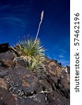 Small photo of Yucca plant (Agavaceae, Yucca schidigera) with volcanic rocks